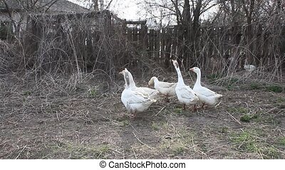 white geese cry in the yard - Flight of white house geese...