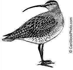 Bristle-thighed Curlew - Numenius tahitiensis