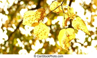 Sun shining through fall leaves blowing in breeze