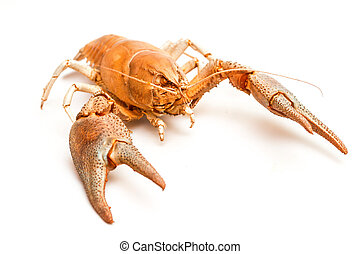 Lobster crab isolated - A cooked lobster crab isolated on...
