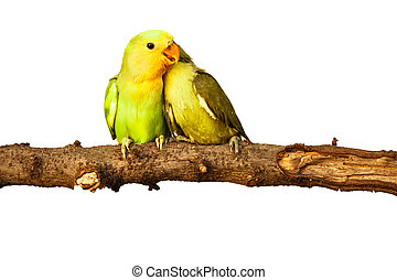 birds love on isolated background