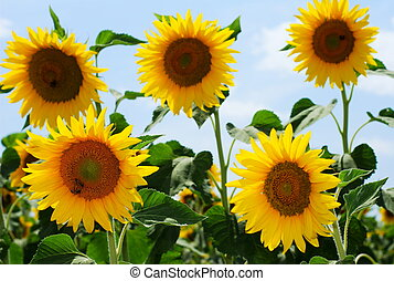 Group of sunflowers and honey bees - Group of sunflowers...