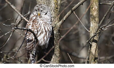 Sleepy Barred Owl, Strix varia, in a tree.
