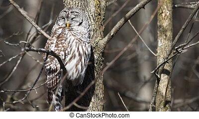 Sleepy Barred Owl, Strix varia, in a tree.