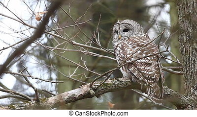 Barred Owl, Strix varia, in a tree.