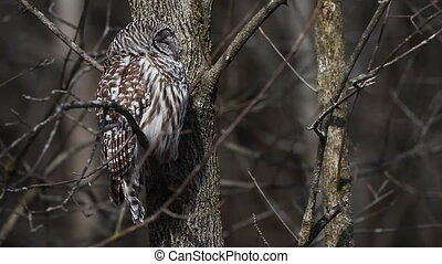 Roosting Barred Owl, Strix varia, in a tree.