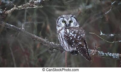 Boreal Owl, a small owl - Boreal Owl, Aegolius funereus, a...