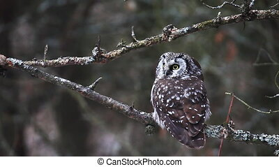 View of Boreal Owl - Close view of Boreal Owl, Aegolius...