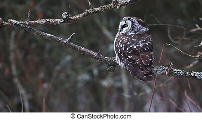 The Boreal Owl, Aegolius funereus, in winter