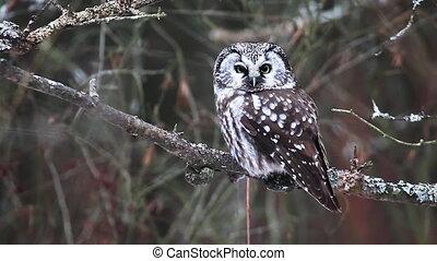 Boreal Owl, Aegolius funereus - A Boreal Owl, Aegolius...
