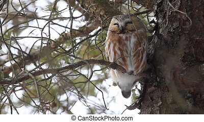 Northern Saw-whet Owl roosting - Northern Saw-whet Owl,...