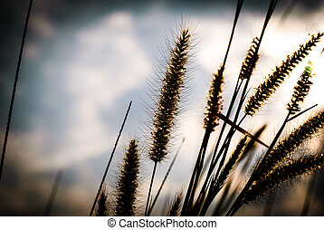 Flower grass background , Pennisetum pedicellatum Trin