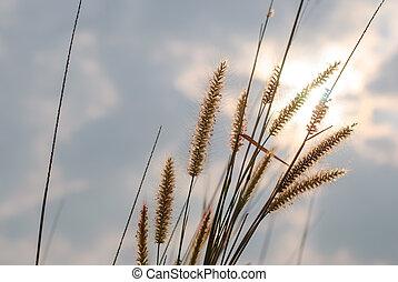 Flower grass background , Pennisetum pedicellatum Trin