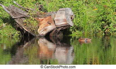 Big snag and its reflection in the pond