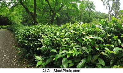 Chinese tea bushes - In Batumi Botanical Garden several...