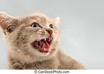 kitten - the little kitten mewing , on grey background ,...