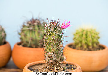 Cactus With Pink Flower in flower pot on wood table