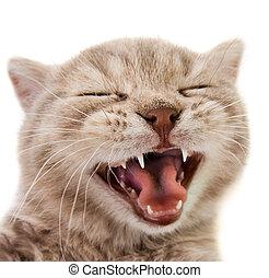 kitten - the laughter little kitten, on white background ,...