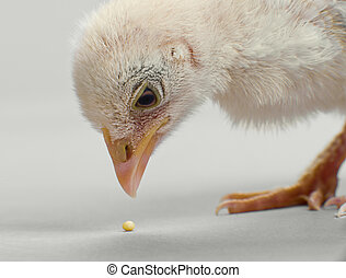 nestling - head chick close up,  pick granule forage