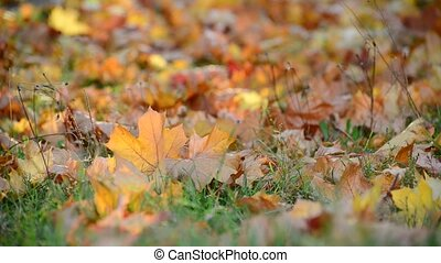 autumn maple leaves on ground - autumn maple leaves on the...