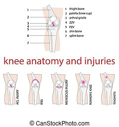 knee anatomy - vector illustration of knee anatomy with...