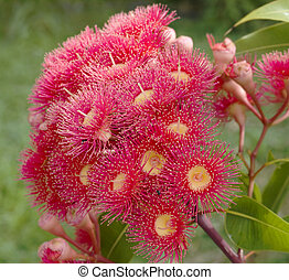 eucalyptus summer red australian native - red flowers of...