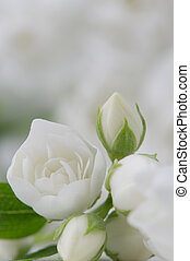 Elegant White Jasmine Flowers - A close-up of elegant white...