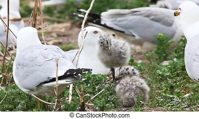 Ring-billed Gull young with adults - Ring-billed Gull chicks...