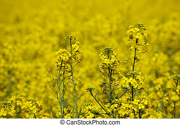 Yellow Colza - Spring Colza Field Landscape Background