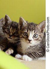 Small kittens - Small 5-week-old kittens are together and...