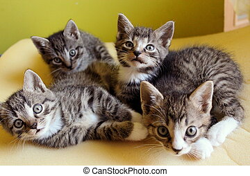 Small kittens - Four small 5-week-old kittens are together...