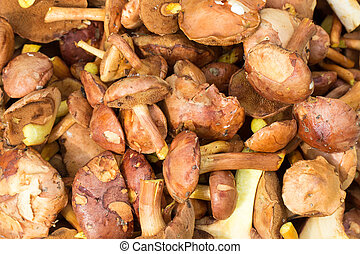 Jersey cow mushrooms background - Fresh raw jersey cow...