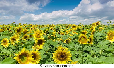 Sunflowers Field - Field of yellow bright sunflowers and...
