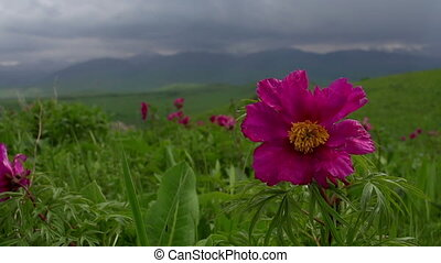 Flowers Spring Foothills - Wild peony swaying from light...