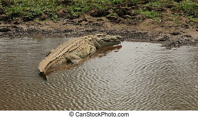 Nile crocodile basking - A Nile crocodile Crocodylus...