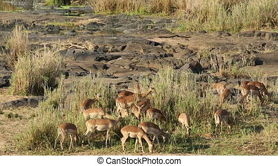 Impala antelopes feeding - A herd of impala antelopes...