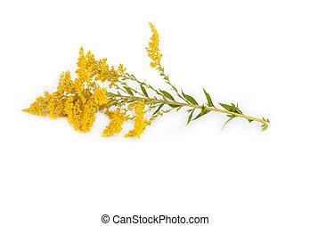 golden Rod Solidago - Golden Rod Solidago virgaurea flower...