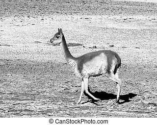 Vicuna - vicugna vicugna - walking on Andean plateau,...