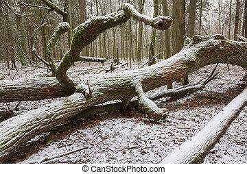 Part of old broken oak tree lying in winter - Snow wrapped...