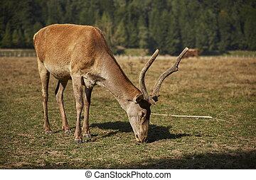 Grazing red deer hart - Adult European red deer hart Cervus...