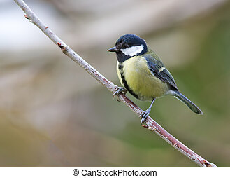 Great Tit perched on a diagonal branch.