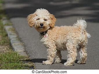 Cavapoo Puppy - Cavapoo puppy in the park.