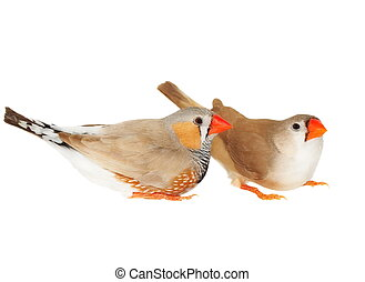 zebra finch, isolated on white background with clipping...