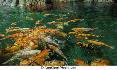 Feeding Golden Carps - Feeding golden carps
