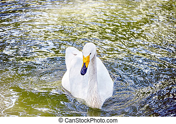 Swan floating on the water - Swan floating on the water in...
