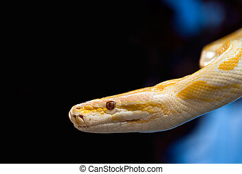 golden python - Golden Python on a black background