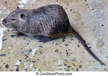 Cute wild furry Coypu Rat. - Cute wild furry Coypu Rat...