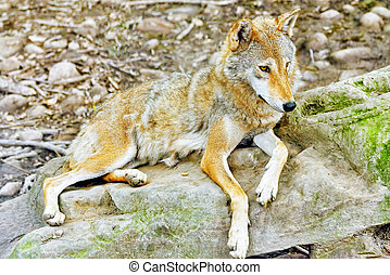 Gray wolf canis lupus - Gray wolf canis lupus in its natural...