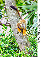 Common Squirred Monkey - Common Squirred Monkey in its...