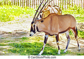 Oryx Gazella. National Forest. - Oryx Gazella and their...